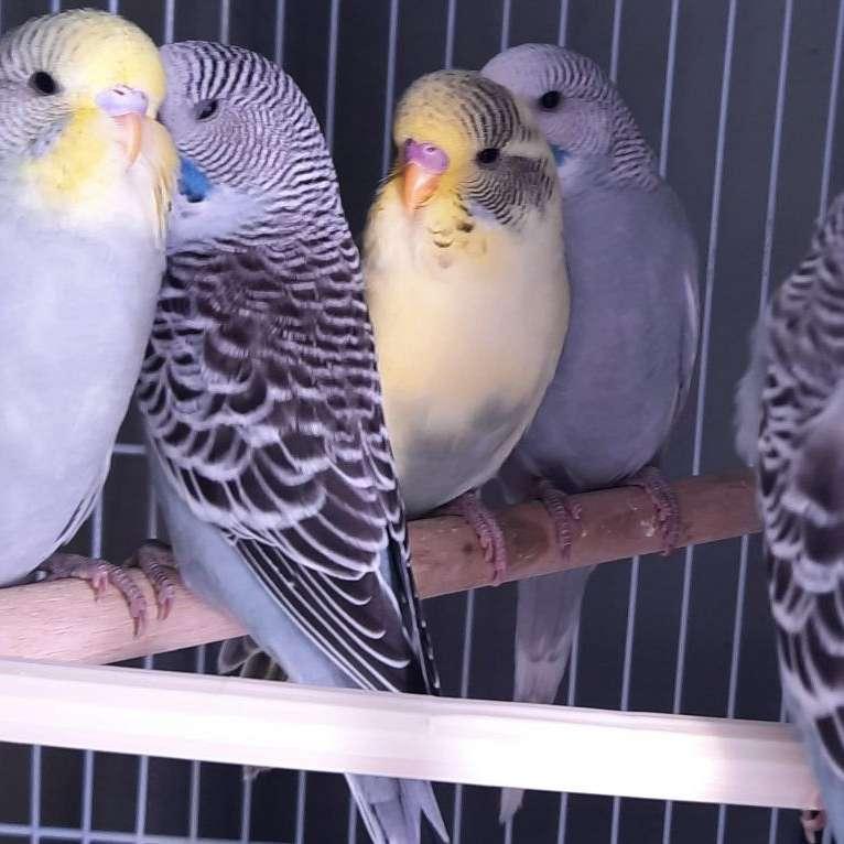 PSP Aviary