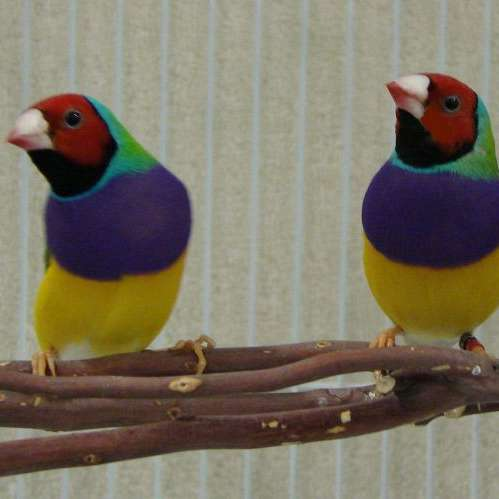 Lovely Lady Gouldians