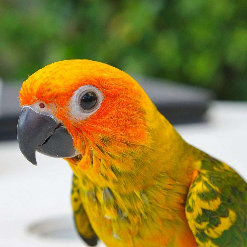 Arizona Parrots