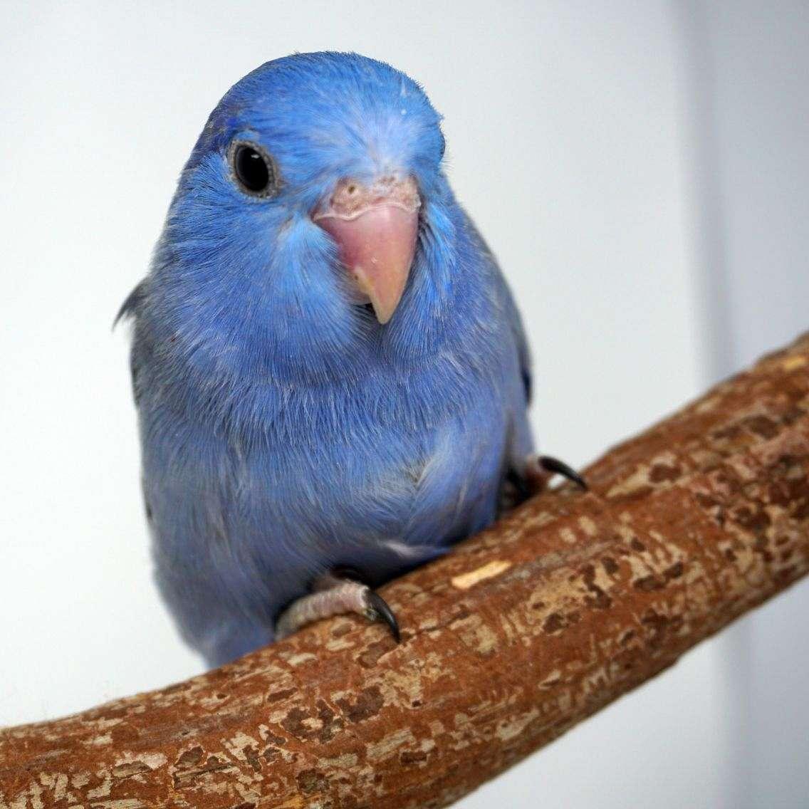Little Loves Parrotlets