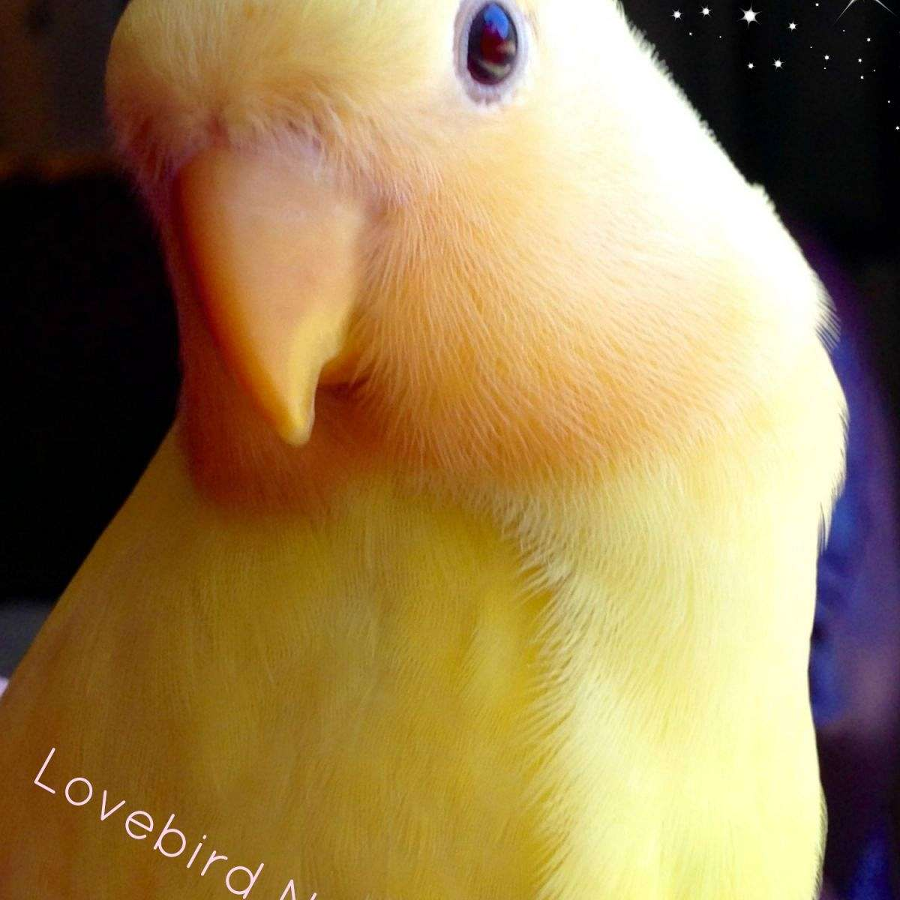 Lovebird Nursery