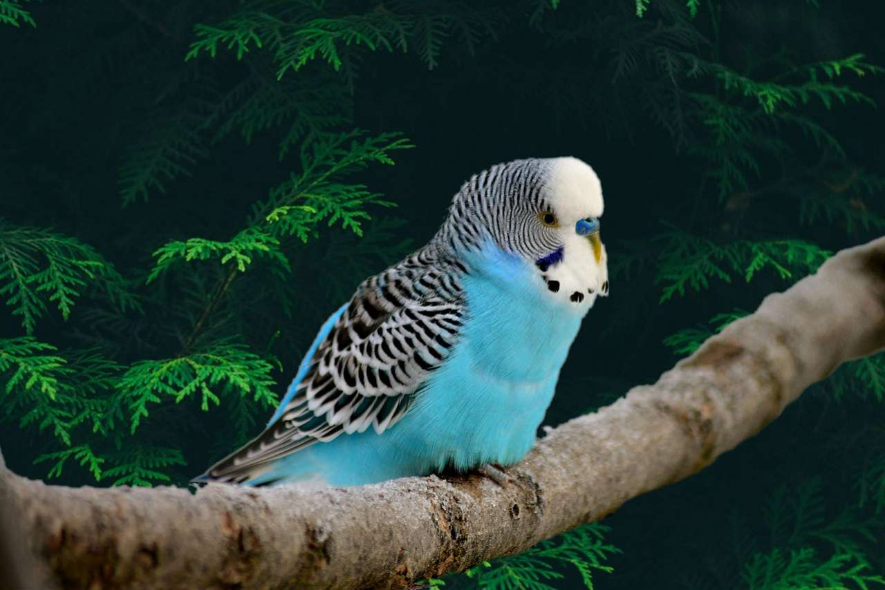 Budgerigar Parakeets for Sale