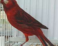 pink-canary-for-sale