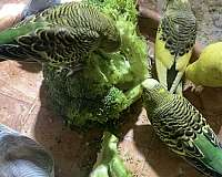 parakeet-for-sale-in-lawrenceville-ga