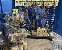 yellow-bonded-pair-exotic-bird-for-sale