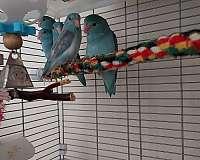 bird-for-sale-in-lincoln-il
