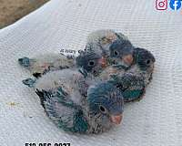 black-blue-handfed-bird-for-sale