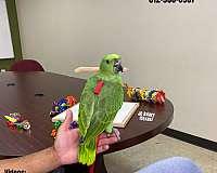 black-blue-green-cheek-conure-for-sale