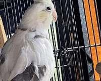 albino-cockatiel-for-sale