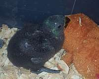 blue-eclectus-parrots-for-sale