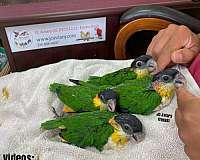 black-budgerigar-parakeet-for-sale