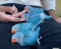 blue-budgerigar-parakeet-for-sale