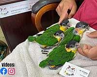 green-budgerigar-parakeet-for-sale