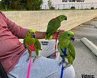 green-red-mexican-red-amazon-parrot-for-sale