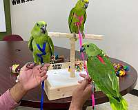house-trained-mexican-red-amazon-parrot-for-sale