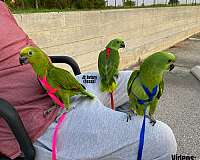 homing-mexican-red-amazon-parrot-for-sale