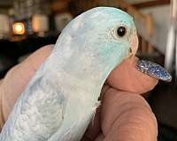 pacific-parrotlet-for-sale-in-hampshire-il