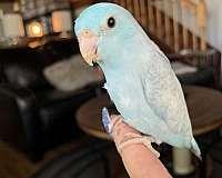 pacific-parrotlet-for-sale