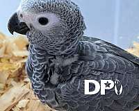 congo-african-grey-parrot-for-sale