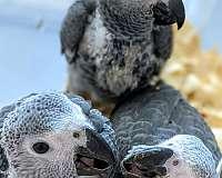 medium-congo-african-grey-parrot-for-sale