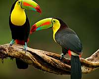 toucan-for-sale-in-flower-mound-tx