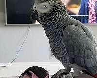 grey-bird-for-sale-in-rio-rico-az