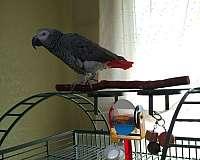 congo-african-grey-parrot-for-sale-in-rio-rico-az