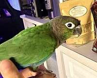 green-cheek-conure-for-sale