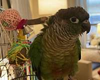 green-cheek-conure-for-sale-in-new-york-ny