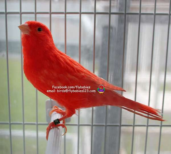 canary-for-sale