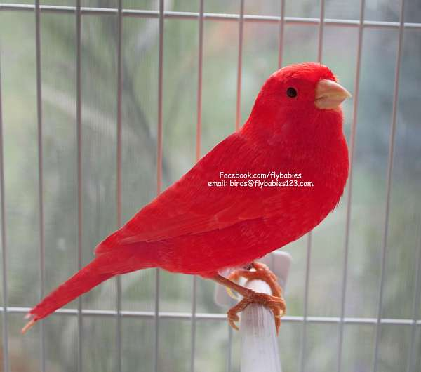 Exotic Birds For Sale >> Flashy Red Canary - - Prices starting at $99 - Free Shipping