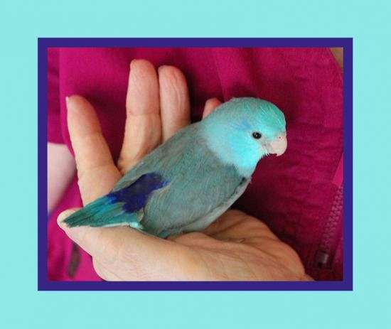 singing-male-bird-for-sale