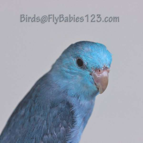 tame-male-bird-for-sale