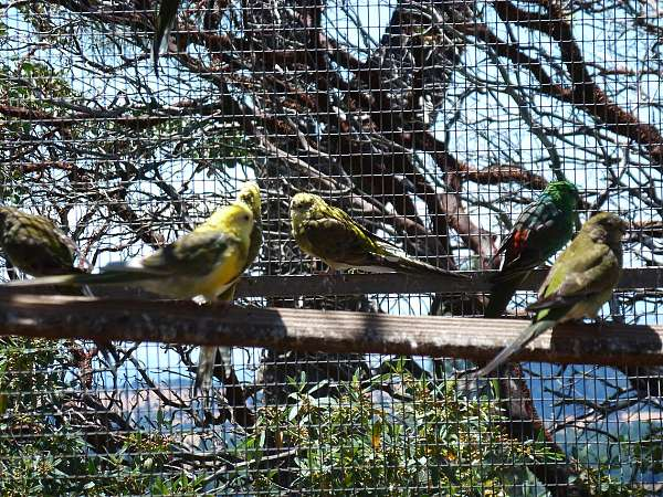opaline-red-rumped-parakeet-for-sale