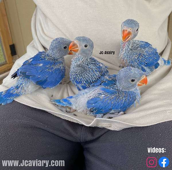 blue-and-gold-macaw-for-sale