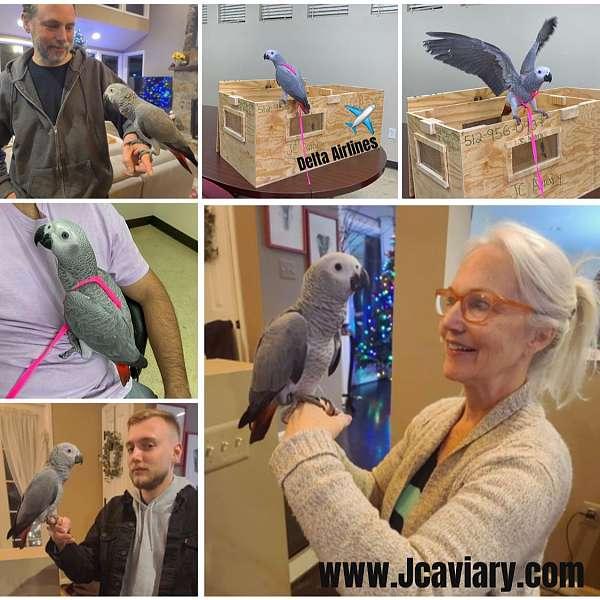 blue-senegal-poicephalus-parrots-for-sale