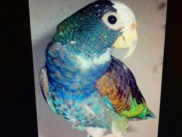 white-pionus-parrots-for-sale