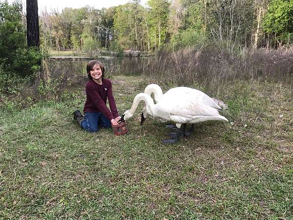 adult-trumpeter-swan-for-sale