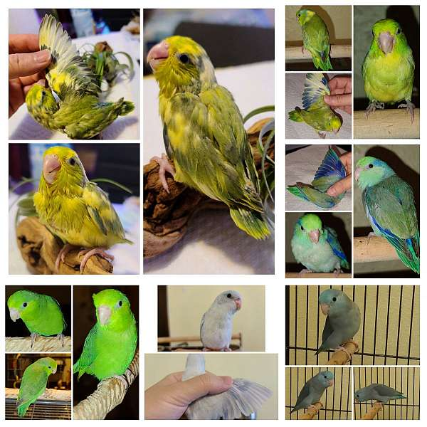 pacific-parrotlet-for-sale-in-milwaukee-wi