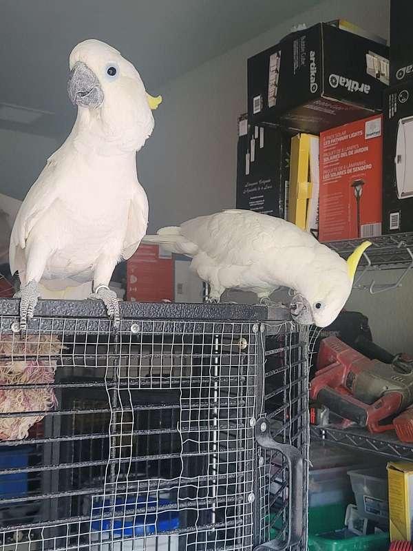 white-yellow-bonded-pair-bird-for-sale