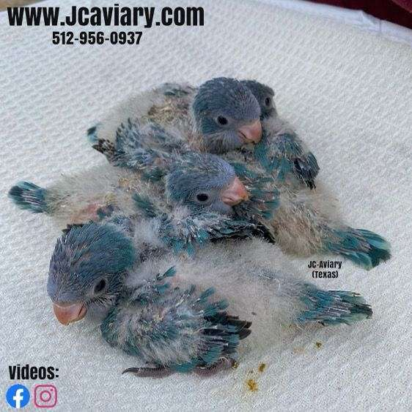 black-blue-homing-bird-for-sale