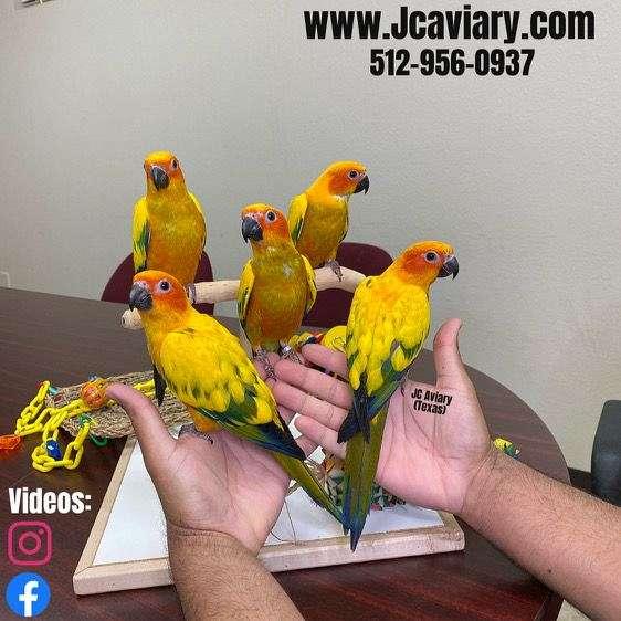 scarlet-bird-for-sale-in-austin-tx