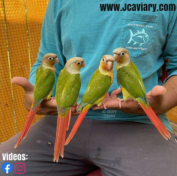 green-cheek-conure-for-sale