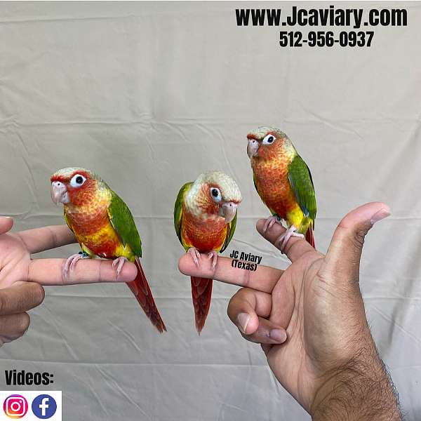 green-green-cheek-conure-for-sale