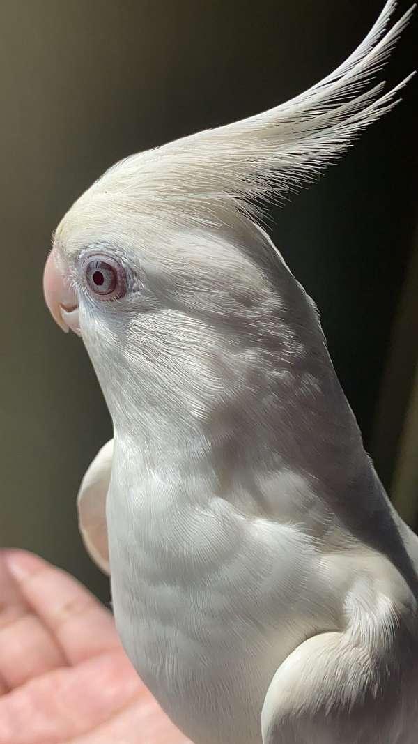 grey-cockatiel-for-sale
