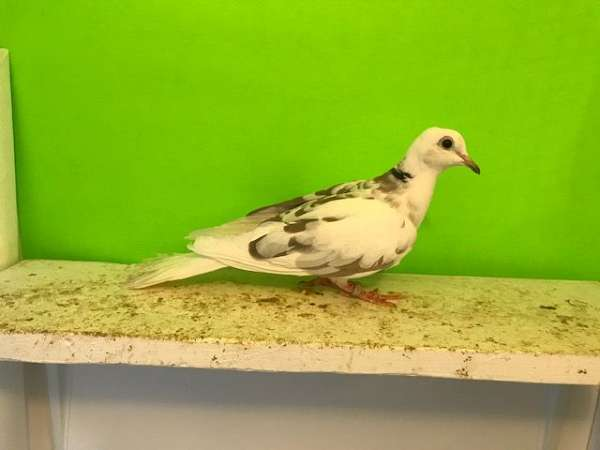 adult-fawn-bird-for-sale