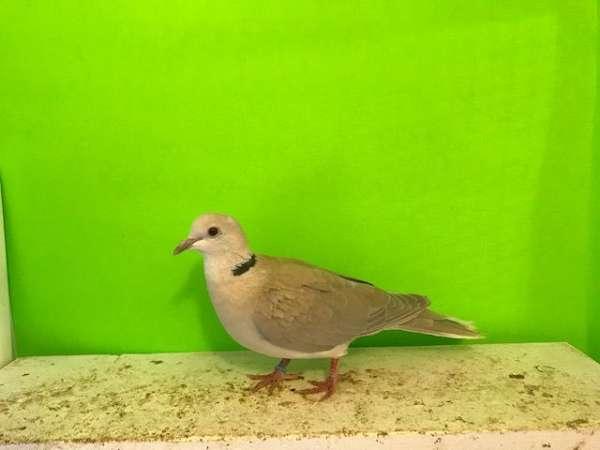 ringneck-dove-for-sale