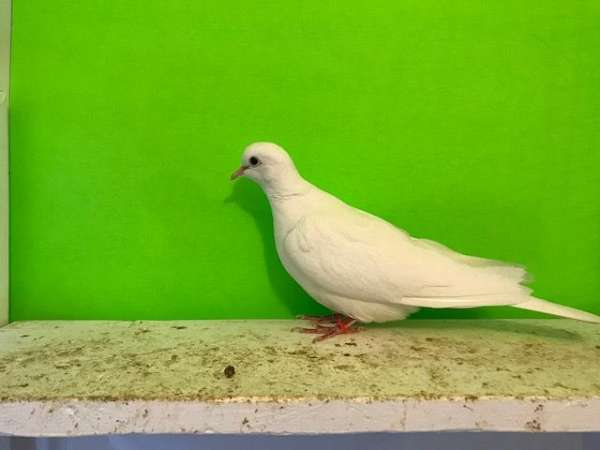brown-ringneck-dove-for-sale