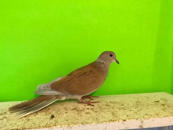 fawn-ringneck-dove-for-sale