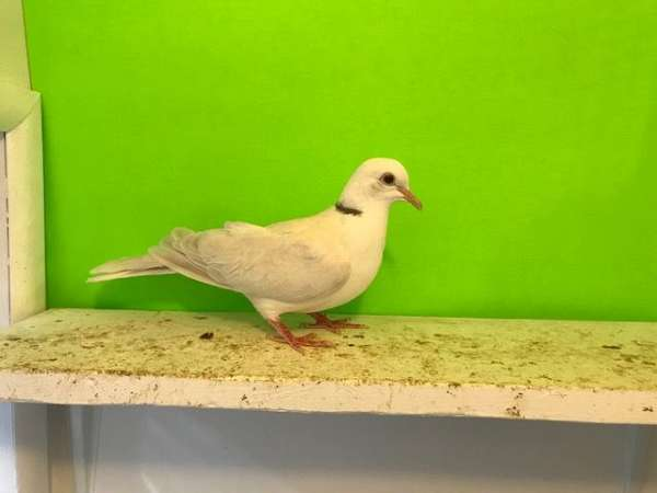 grey-ringneck-dove-for-sale